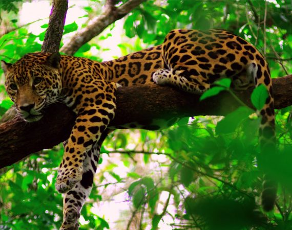 belize jaguar adventure