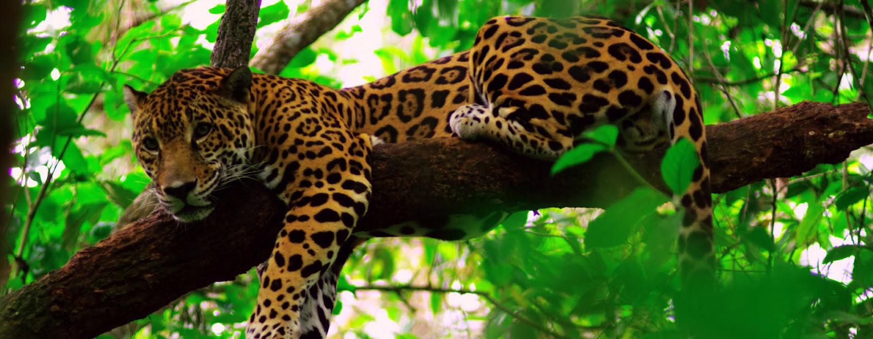 Belize jaguar adventure