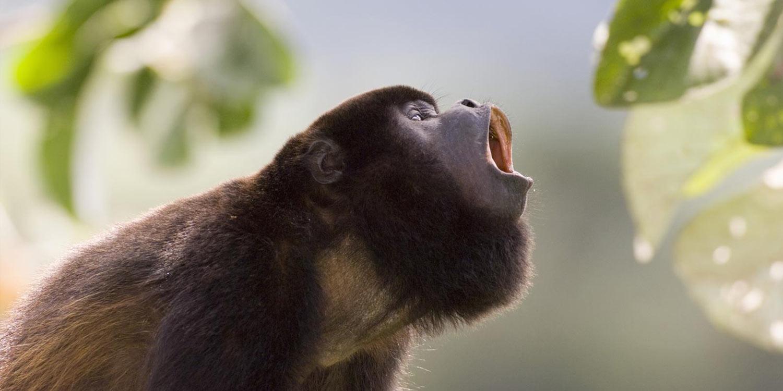 Belize howler monkey in tree