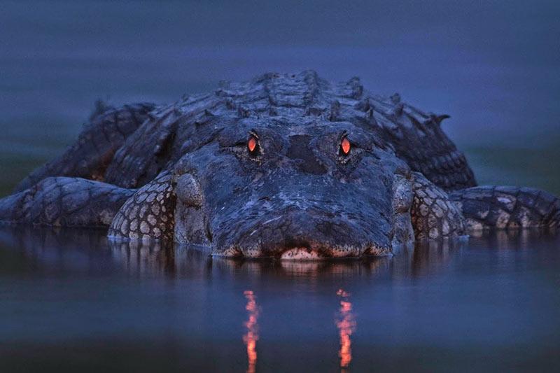 Belize crocodile hunt