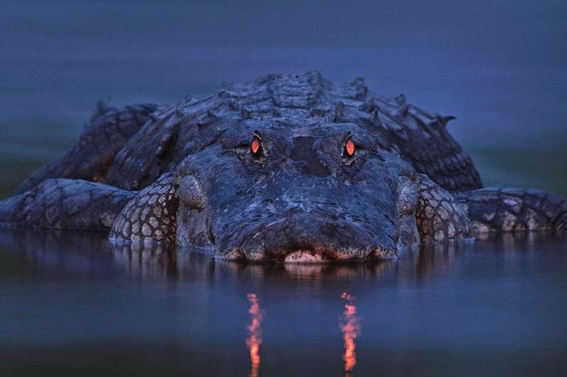 Belize crocodile hunt