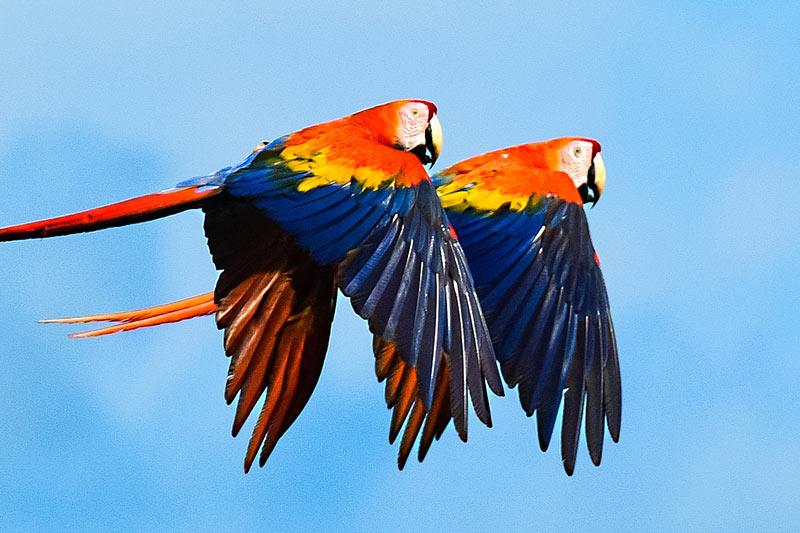 Belize scarlet macaw